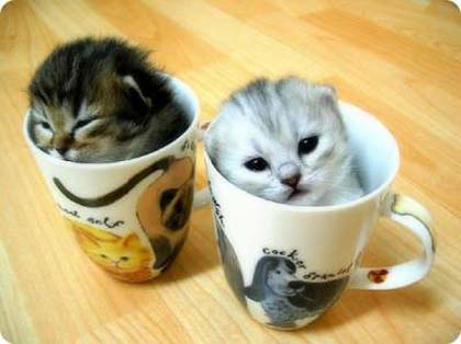 kitties-in-teacup1