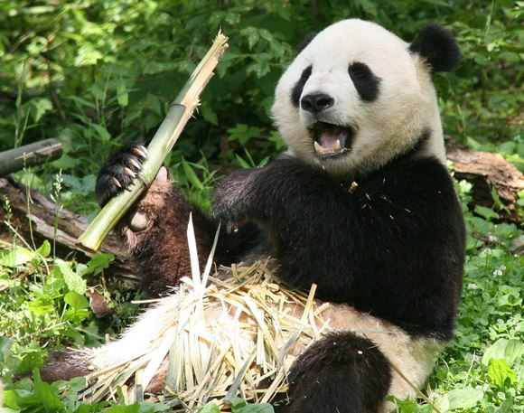 110816-complacent-panda1