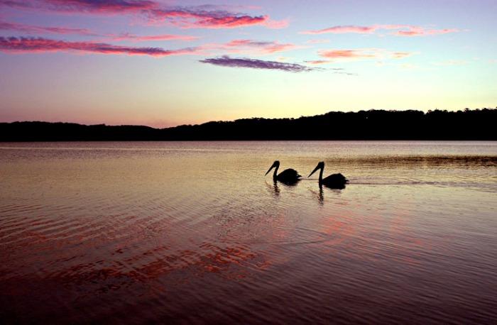 Pelicans 750