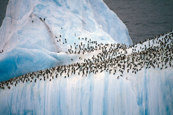 adelie-penguins-on-iceberg-lg