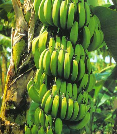 williams-banana-tree-banana-plant-6